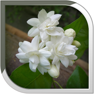 Mogra Flower Png - Mogra Live Wallpaper, Transparent background PNG HD thumbnail