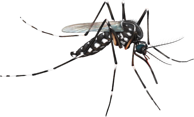 Mosquito Png - Mosquito, Transparent background PNG HD thumbnail