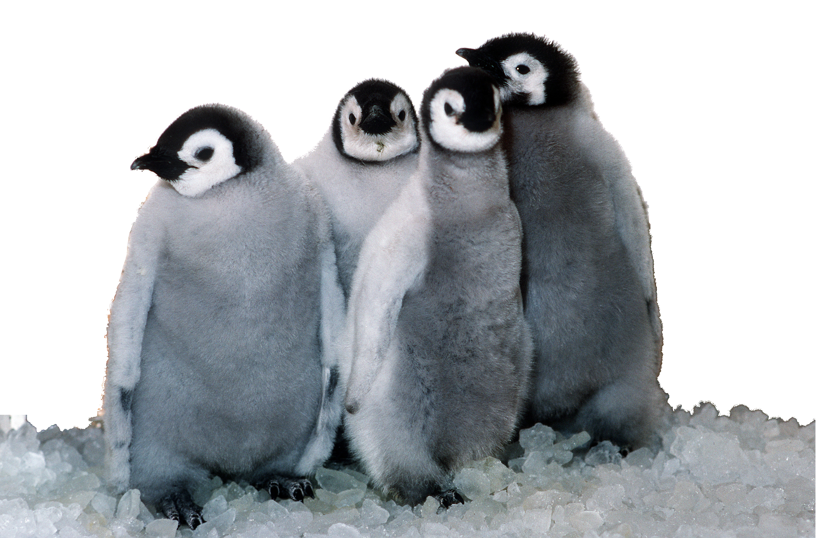 File:emperor Penguin Chicks At Sea World (Foreground).png - Penguin, Transparent background PNG HD thumbnail