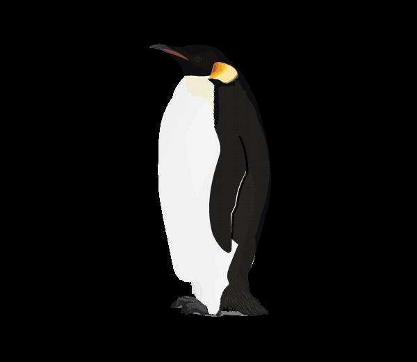 Penguin Png Picture - Penguin, Transparent background PNG HD thumbnail