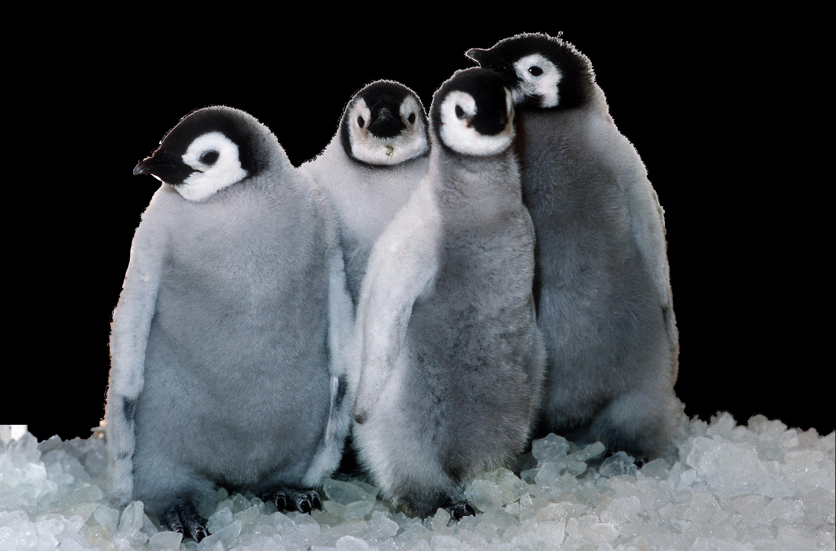Penguin Png Image #19545 - Penguin, Transparent background PNG HD thumbnail