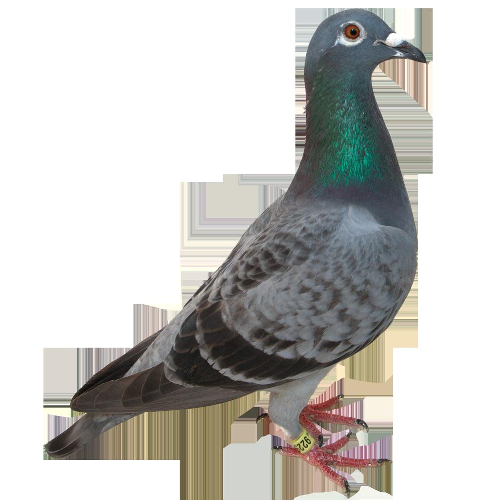 Pigeon PNG