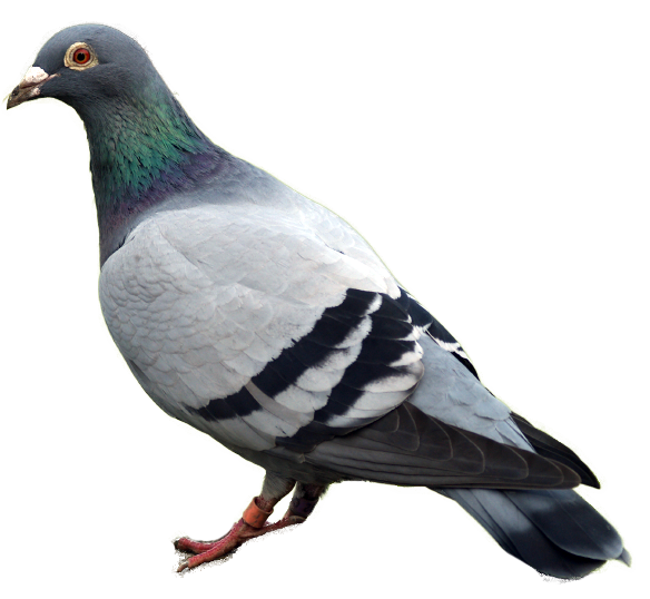 Pigeon Png Image - Pigeon, Transparent background PNG HD thumbnail
