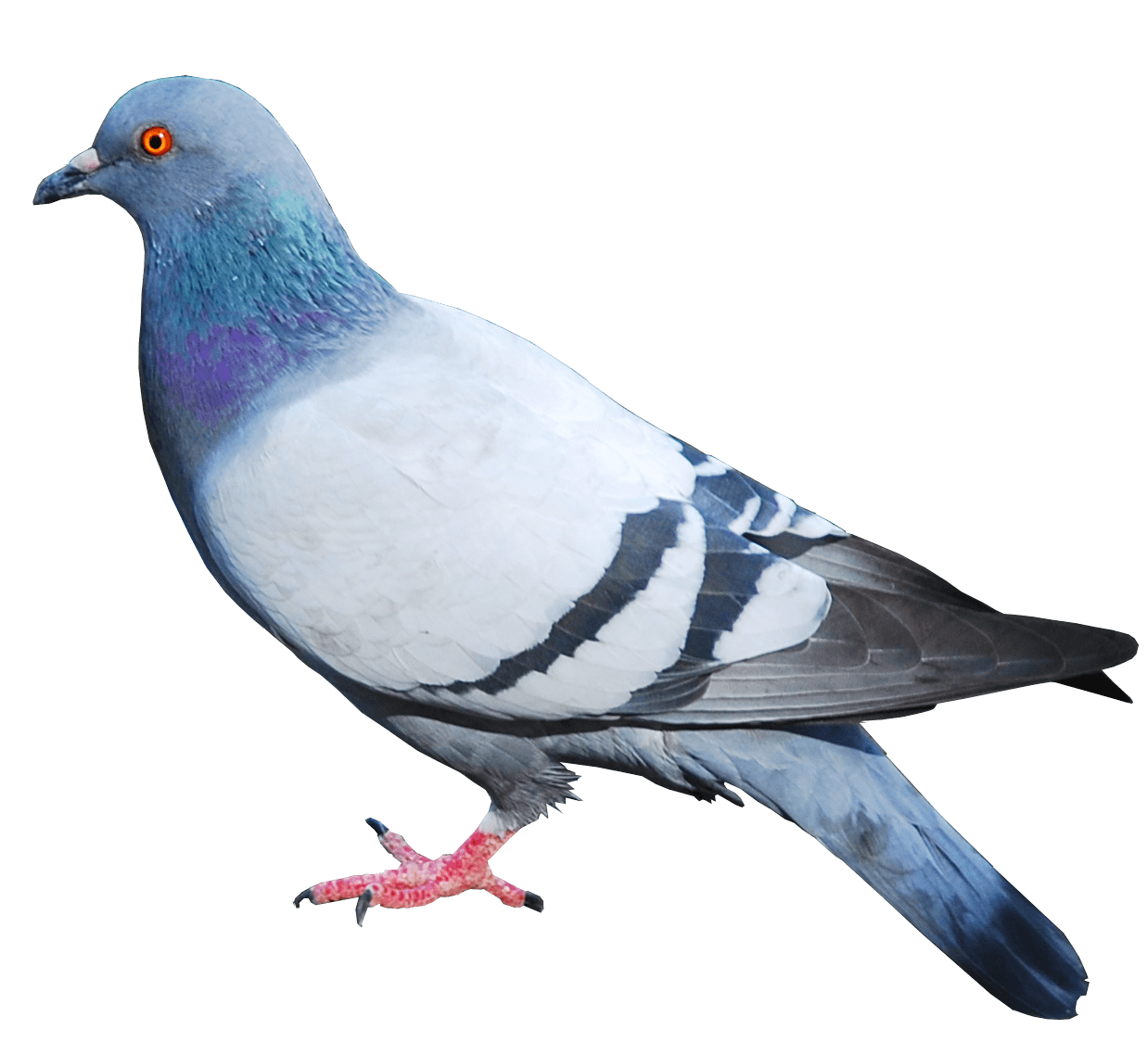 Pigeon Png Image Png Image - Pigeon, Transparent background PNG HD thumbnail