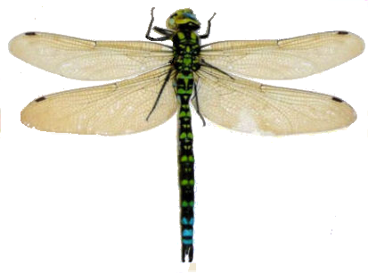 Png 413X306 Dragonfly Transparent Background - Dragonfly, Transparent background PNG HD thumbnail
