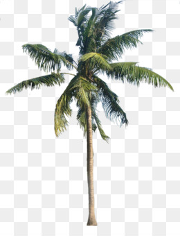 Png Coconut Tree - American Sycamore Coconut Arecaceae   Coconut Tree Transparent Png, Transparent background PNG HD thumbnail
