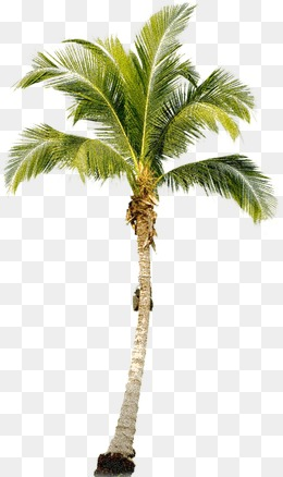 Png Coconut Tree - Coconut Tree, Transparent background PNG HD thumbnail
