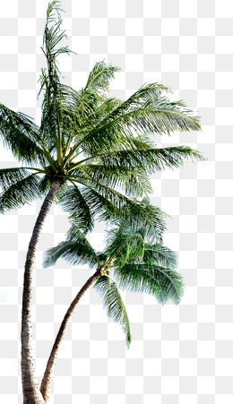 Png Coconut Tree - Coconut Tree, Coconut Tree, Tree, Trees Png Image And Clipart, Transparent background PNG HD thumbnail