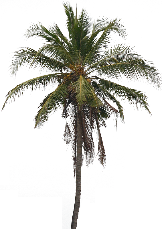 Png Coconut Tree - Coconut Tree Png Pic, Transparent background PNG HD thumbnail