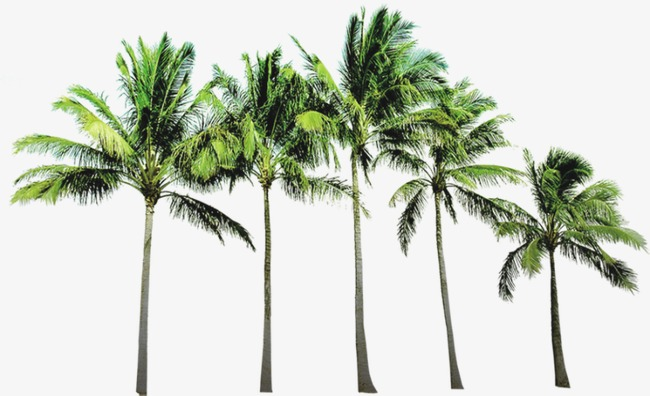Png Coconut Tree - Coconut Tree, Tree, Beach Tree Png And Psd, Transparent background PNG HD thumbnail