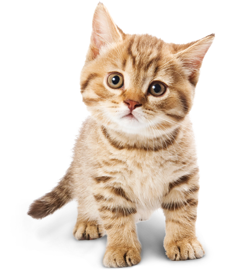 Png Cute Cat - Adorable Cat Png Image, Transparent background PNG HD thumbnail