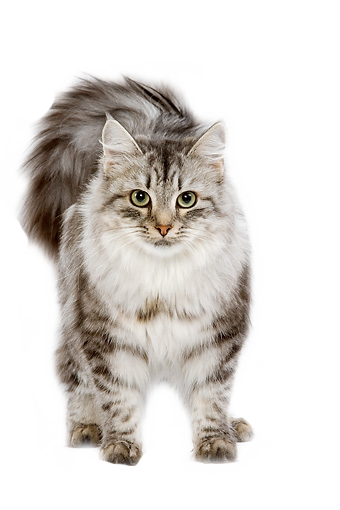 Png Cute Cat - Cats, Cute Animals, And Kitten Image, Transparent background PNG HD thumbnail