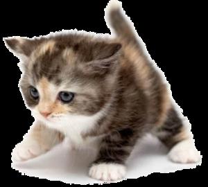 Png Cute Cat - Cute Cat Image, Transparent background PNG HD thumbnail