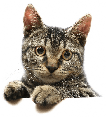 Png Cute Cat - Cute Cat Looking, Transparent background PNG HD thumbnail