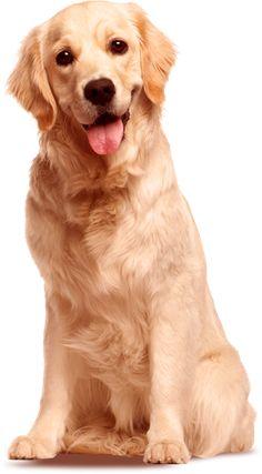 Png Golden Retriever Dog Hdpng.com 236 - Golden Retriever Dog, Transparent background PNG HD thumbnail