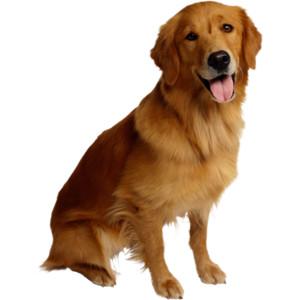 Животные (5).png - Golden Retriever Dog, Transparent background PNG HD thumbnail