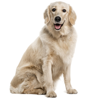 Are Golden Retrievers Good Family Dogs?   See What Real Golden Retriever Owners Say - Golden Retriever Dog, Transparent background PNG HD thumbnail