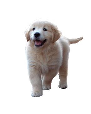 Bluebreeze Kennels Golden Retriever Showdogs Puppies - Golden Retriever Dog, Transparent background PNG HD thumbnail