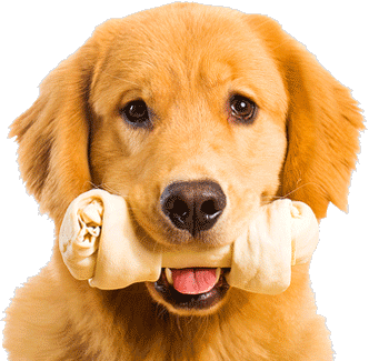 Dedicated To Dogs - Golden Retriever Dog, Transparent background PNG HD thumbnail