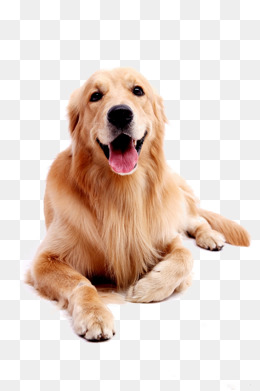 Dog Pet Golden Retriever, Golden, Pet Dog, Puppy Png Image - Golden Retriever Dog, Transparent background PNG HD thumbnail