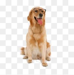 Glasses Retriever, Dog Art, Glasses, Golden Png Image - Golden Retriever Dog, Transparent background PNG HD thumbnail