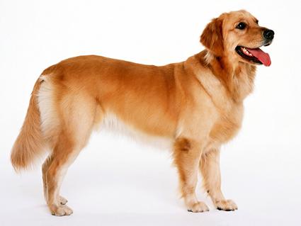 Golden Retriever - Golden Retriever Dog, Transparent background PNG HD thumbnail