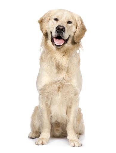 Golden Retriever   Beds, Collars And Accessories - Golden Retriever Dog, Transparent background PNG HD thumbnail