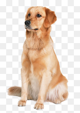 Golden Retriever Dog, Pet Dog, Animal Material, Golden Png Image - Golden Retriever Dog, Transparent background PNG HD thumbnail