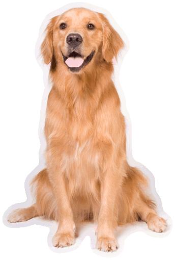 Golden Retriever.png - Golden Retriever Dog, Transparent background PNG HD thumbnail