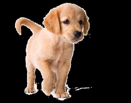 Golden Retriever Puppy Png Image - Golden Retriever Dog, Transparent background PNG HD thumbnail