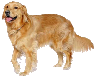 Look At Some Of Our Recent Puppies - Golden Retriever Dog, Transparent background PNG HD thumbnail