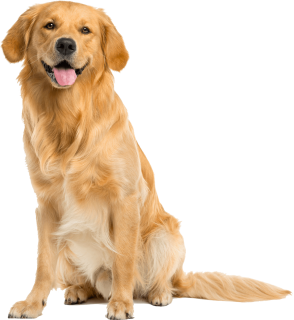 Some Of The Goldenu0027S Talents Are Hunting, Tracking, Retrieving, Narcotics Detection, Agility, Competitive Obedience And Performing Tricks. These Dogs Also Hdpng.com  - Golden Retriever Dog, Transparent background PNG HD thumbnail