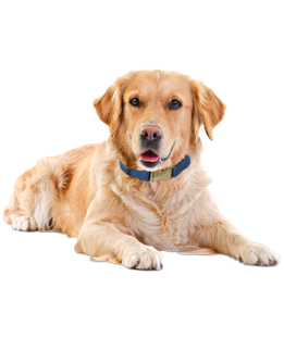What Do You Need To Know Before You Adopt A Golden Retriever? We Asked The Experts! - Golden Retriever Dog, Transparent background PNG HD thumbnail
