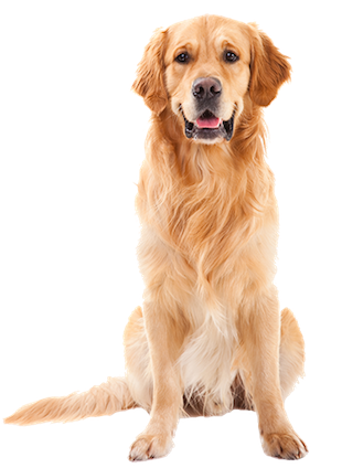 Why Choose A Golden Retriever To Be The Star Of Your Ecard? - Golden Retriever Dog, Transparent background PNG HD thumbnail