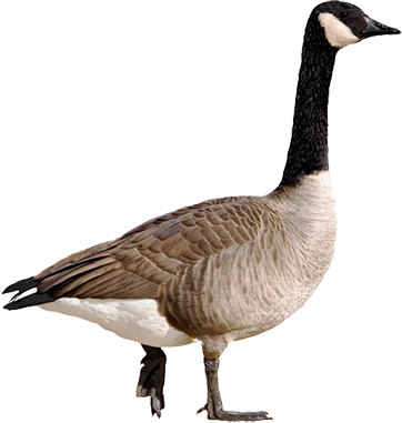 Canada Goose Solutions - Goose, Transparent background PNG HD thumbnail
