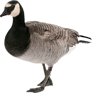 Goose Png - Goose, Transparent background PNG HD thumbnail