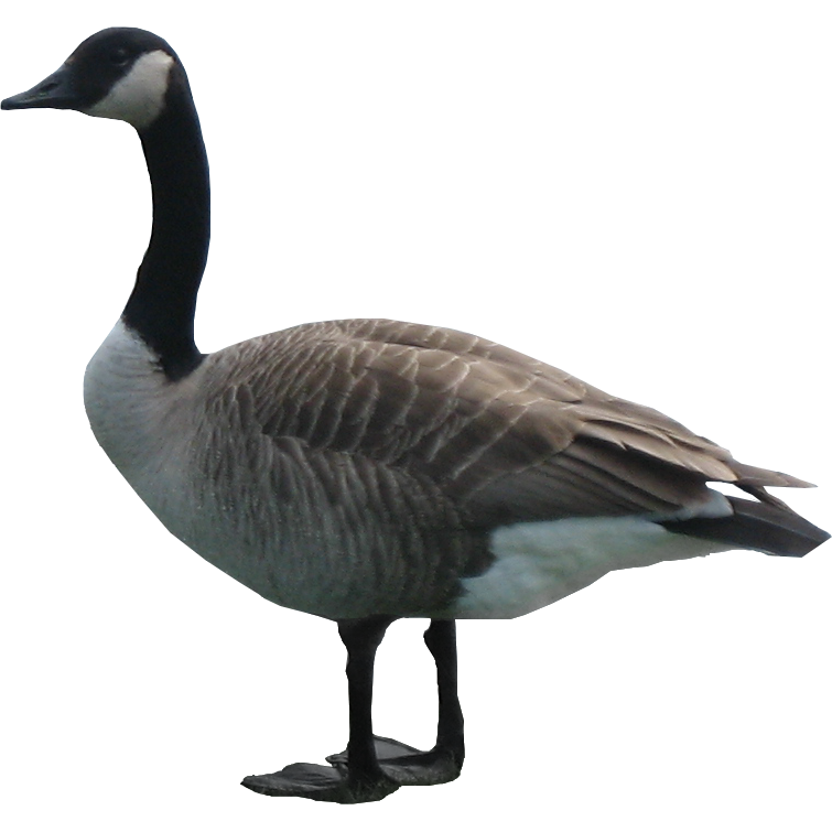 Goose Png Hd - Goose, Transparent background PNG HD thumbnail