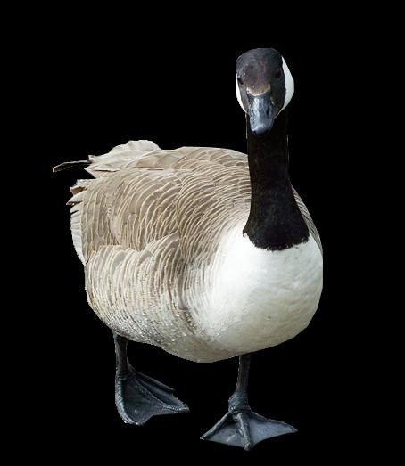 Goose Png Transparent Image - Goose, Transparent background PNG HD thumbnail