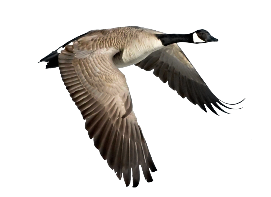 Png Goose By Moonglowlilly Hdpng.com  - Goose, Transparent background PNG HD thumbnail