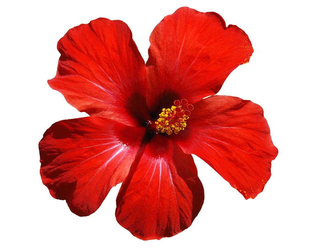 Hawaii Flowers. 38.jpg. - Hawaiian Flower, Transparent background PNG HD thumbnail