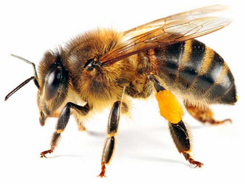 PNG HD Bee