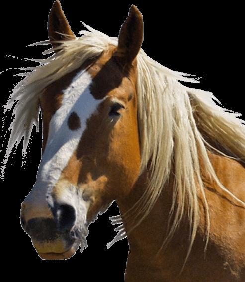 . Hdpng.com 10:59 107K Horse Head 150X150.png 11 Oct 2016 10:59 43K Horse Head  100X100.png 11 Oct 2016 11:01 21K 001.jpg 12 Oct 2016 12:12 1.2M 001 150X150.jpg Hdpng.com  - Horse Head, Transparent background PNG HD thumbnail