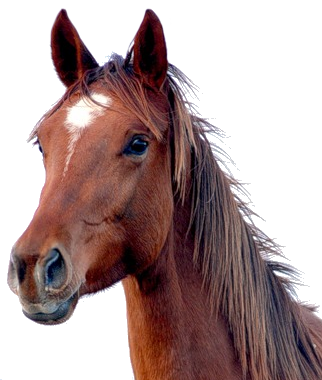 Horse Png Image - Horse Head, Transparent background PNG HD thumbnail
