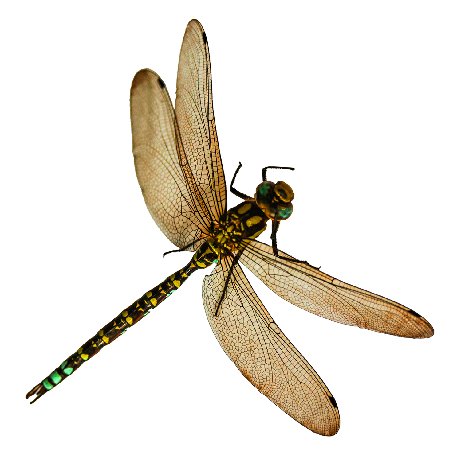 Dragonfly Png Image - Insects, Transparent background PNG HD thumbnail