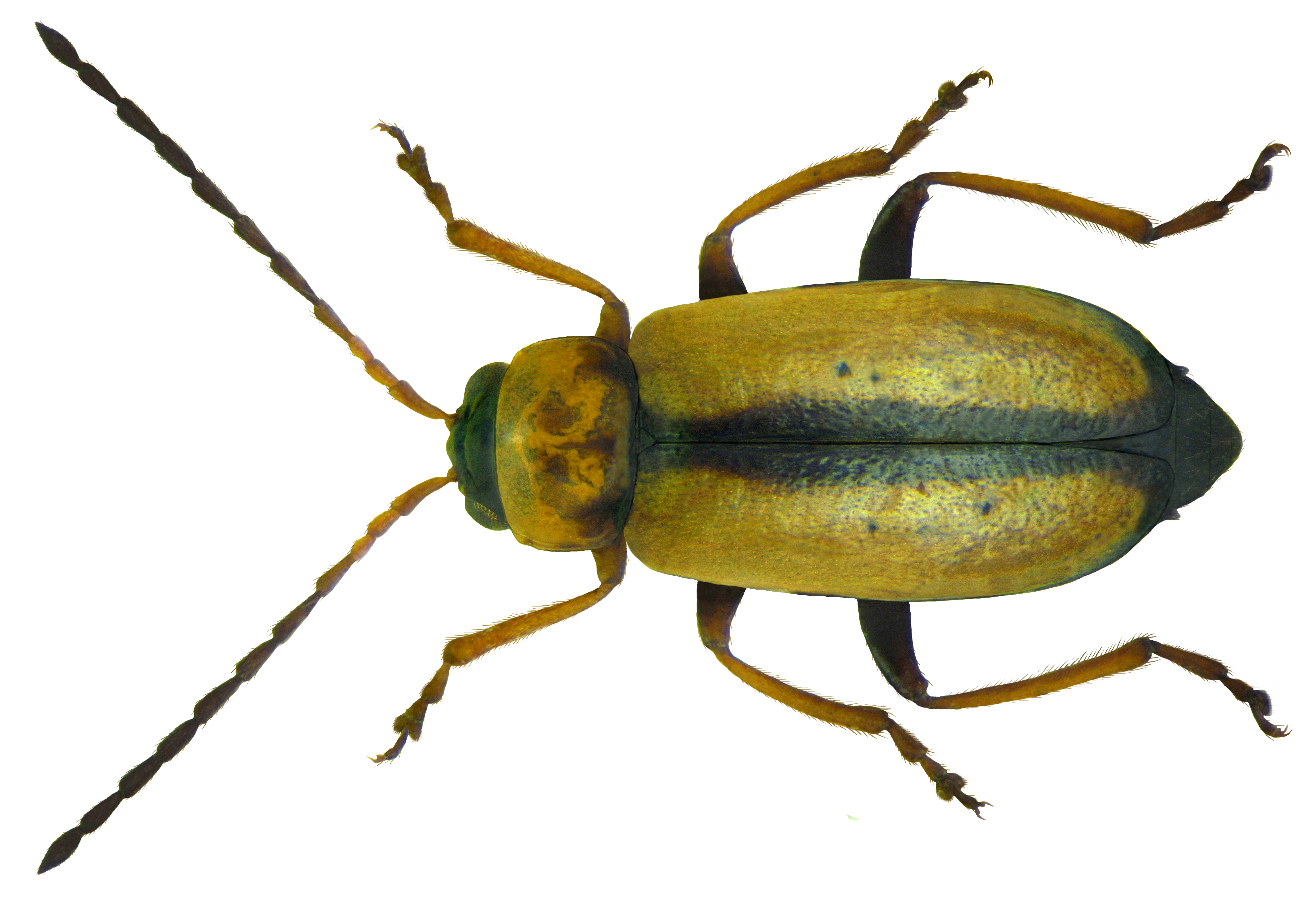 File:calomicrus Circumfusus (Marsham, 1802).png - Insects, Transparent background PNG HD thumbnail