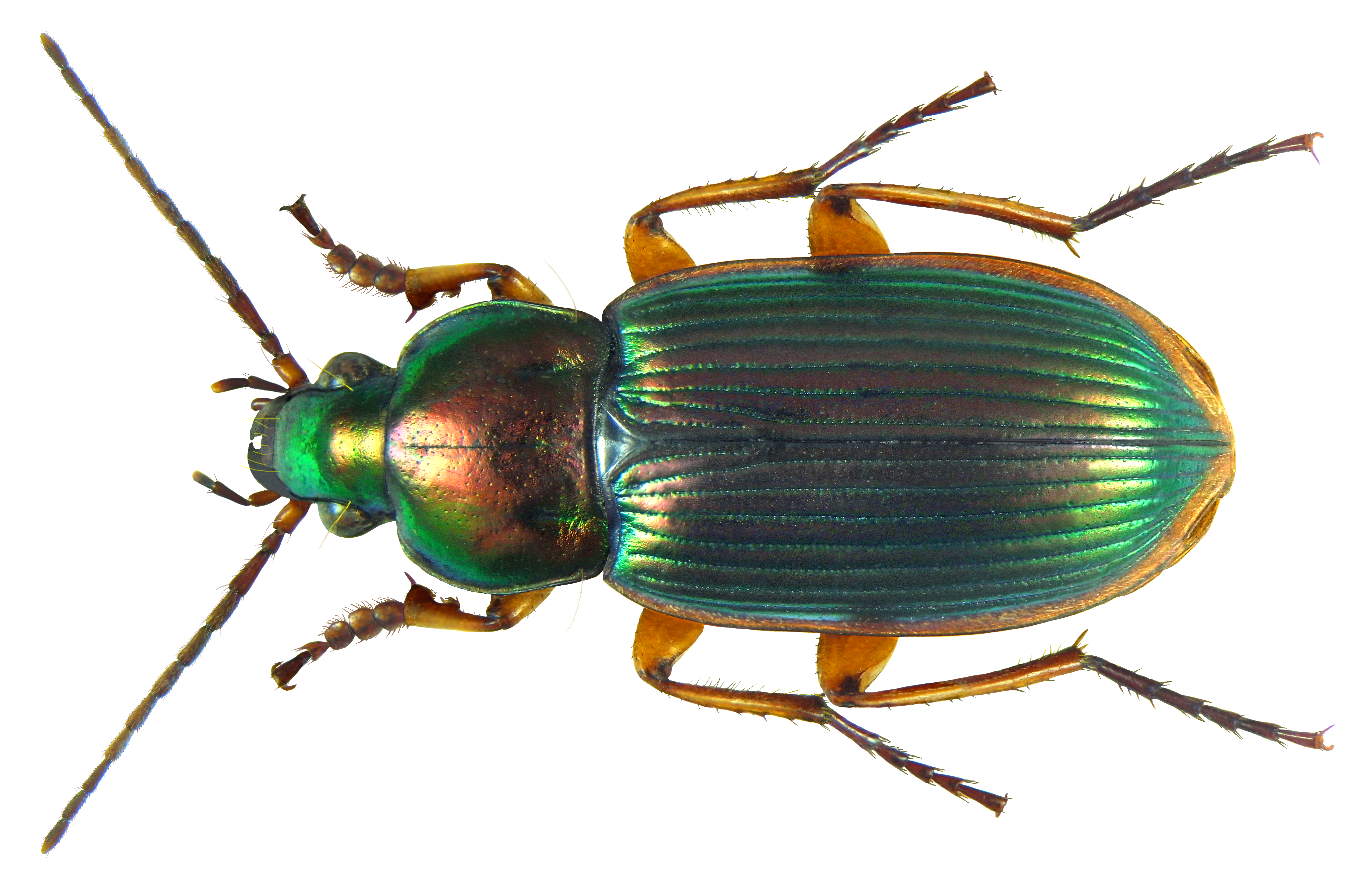 File:chlaenius (Amblygenius) Rufomarginatus Dejean, 1831 (8459068726).png - Insects, Transparent background PNG HD thumbnail