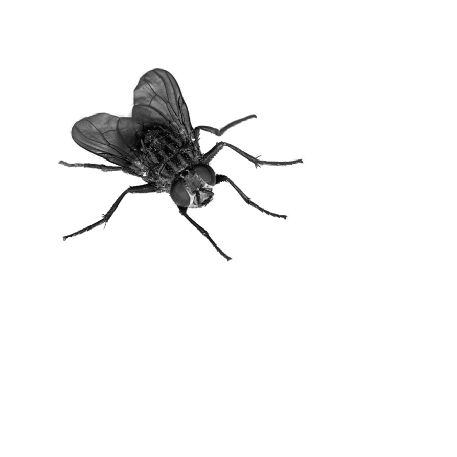 Fly Png Image - Insects, Transparent background PNG HD thumbnail