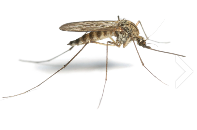 Mosquito · Roach Png - Insects, Transparent background PNG HD thumbnail