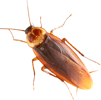 Roach · Scorpion Png - Insects, Transparent background PNG HD thumbnail