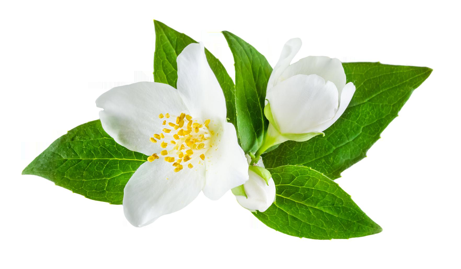 PNG Jasmine Flower